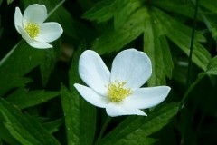 Anemone_canadensis