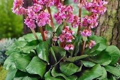 bergenia-cordifolia-erioca