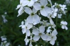 hesperis-matronalis-alba