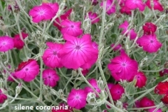 lychnis_coronaria (prikneus)