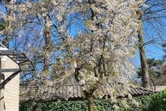 prunus-kersenboom