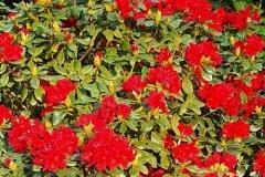 rhododendron-azalea-mollis-rood