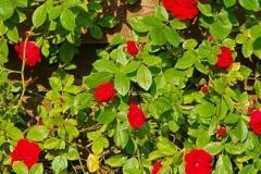 rosarium-rood (klimroos)
