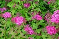 spiraea_japonica_'anthony_waterer'_-_spierstruik